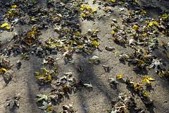 Ready for Sweeping (Mamluke) Tags: autumn sun sunlight fall home leaves garden jardin patio dried tageslicht sunlit zonlicht lumièredusoleil luzdelsol mamluke lucesolare