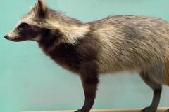 Raccoon (Yuta Ohashi LTX) Tags: animal stuffing stuffed nikon f14 voigtlander taxidermy sl d750 fixed raccoon 58mm  ll nokton  focal   primelens 5814      nokton5814slll