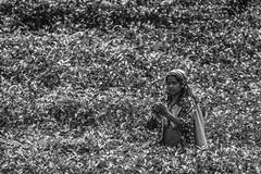 Among The Leaves #2 (BoXed_FisH) Tags: travel portrait people bw black monochrome leaves mono asia zoom tea sony monotone plantation tele srilanka teaplantation nuwara nuwaraeliya centralprovince teapicking sal70300g sonya7