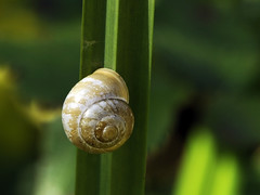(carolemason) Tags: kent snail brockhillcountrypark