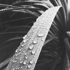 Classic (Carolyne Sysmans) Tags: plants plant nature water rain droplets storms waterdroplets iphoneonly
