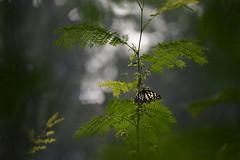 A hazy view (sanat_das) Tags: butterfly kolkata d800