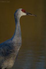 Sandhill Crane (markvcr) Tags: bird crane sandhill