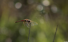 """Liblula-de-nervuras-vermelhas"" (Macho)   Red-Veined Darter (Male) (pedro.caboz) Tags: portugal nature dragonfly natureza libelula odonata sympetrumfonscolombii"