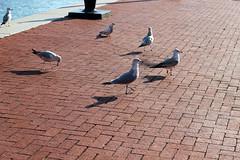 Bird #3 (emilyangel217) Tags: city canon rebel harbor shadows inner t3i