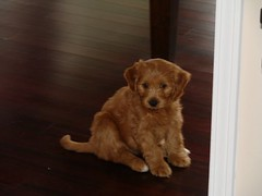 jada-checking-out-her-new-digs--shes-one-of-ginger-and-chewys-puppies-_2375192624_o
