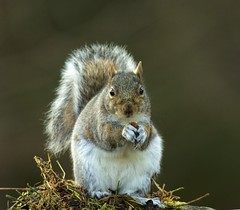 Grey squirrel, Sciurus carolinensis (Ian Mc Farlane) Tags: grey squirrel sciurus carolinensis