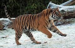 sumatran tiger Burgerszoo JN6A1089 (j.a.kok) Tags: tijger tiger sumatraansetijger sumatrantiger pantheratigrissumatrae tess nonja burgerszoo burgerzoo kat cat mammal zoogdier predator azie asia sumatra
