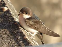 House Martin (Peanut1371) Tags: housemartin martin bird nationalgeographicwildlife