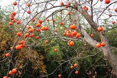 Diospyros kaki-31 (The Tree Library (TreeLib.ca)) Tags: japanesepersimmon diospyroskaki