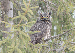 Grand-duc d'Amérique - Bubo virginianus - Great Horned Owl (Anthony Fontaine photographe animalier) Tags: wow