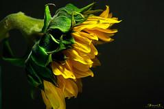 Sunflower (aniribe) Tags: nature natureimagies naturephotos sunflower flower worldflowers yellow color nikon green shadow light saveearth