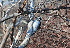 Hairy Woodpecker Fort Foster Kittery Maine (pag2525) Tags: fort foster kittery me maine hairy woodpecker winter bird birding new england
