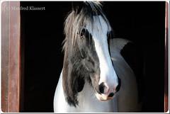 © • Shannon • (M.A.K.photo) Tags: shannon kerberhof unterfranken bayern bavaria deutschland lowerfranconia pferd animal horse outdoor animals irishtinker tinker germany tiere nikon