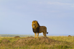 Lion dans le parc national du Serengeti (Voyages Lambert) Tags: serengetinationalpark masaimaranationalreserve wildlife tanzania masaimara kenya eastafrica lionfeline bigcat mammal animal amboselinationalpark samburunationalpark