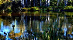 Early Evening REFLECTIONS (Lani Elliott) Tags: tasmania australia reflections reflection trees bush light evening pond lake beautiful nature naturephotography brilliant wow