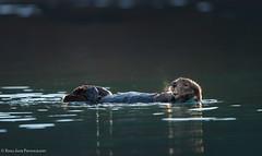 The Limelight- Kodiak Alaska (rishaisomphotography) Tags: enhydralutris seaotter otter furry fuzzy mammal marine water ocean sea channel cove kodiak alaska nature naturephotography wild wildlife wildlifephotography