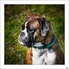 Ulises II (V- strom) Tags: ulises bóxer texturas recuerdo luz amigo perro mascota nikon nikon2470 nikon50mm
