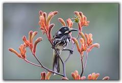 New Holland Honeyeater. (tassie303) Tags: bird newhollandhoneyeater ef100400mmf4556lisiiusm kangaroopaws
