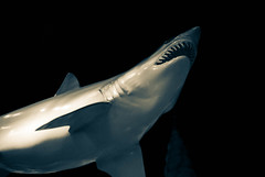 Shark in the abyss (sniggie) Tags: shark plasticshark newportaquarium kentucky greatwhiteshark