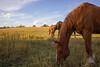 grazing horses (Jules Marco) Tags: grass gras grazing grasen horse pferde sky blauerhimmel bluesky animal animalplanet tier tiere koppel paddock canon eos600d sigma1020mmf35exdchsm wideanglelens weitwinkel natur nature outdoor