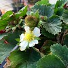 Winter Strawberries (Assaf Shtilman) Tags: winter small flower fruit strawberry
