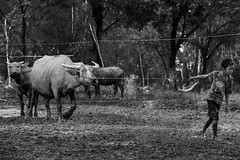 Follow me (-clicking-) Tags: streetphotography streetlife children childhood childish childlike innocence innocent buffalo animal boy countrylife country life dailylife blackandwhite blackwhite nocolors monochrome monotone bw vietnam