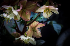 Out of the Darkness (Colormaniac too) Tags: hellebore lentenrose perennial darknessandlight hopeforspring february winter srinivaskhuchibotla sadnessloss sorrow hope flowers nature pacificnorthwest washingtonstate sequim olympicpeninsula topazimpression topaztextureeffects