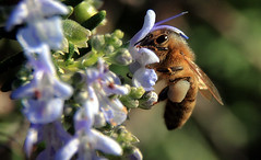 Gathering (TJ Gehling) Tags: insect hymenoptera bee apidae apis honeybee plant herb rosemary elcerritoseniorcenter elcerritopubliclibrary elcerrito