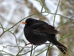 Schwarzer Federball (isajachevalier) Tags: amsel vogel wildtier winter natur panasonicdmcfz150