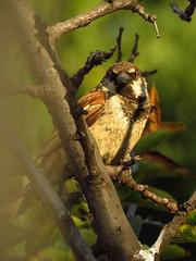 Gorrión enramado (Pablo Moreno V) Tags: gorrion passerdomesticus sparrow bird ave chile canon