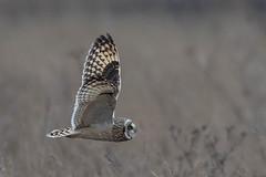 short eared owl (colin 1957) Tags: shortearedowl owl burwell birdsofprey flight