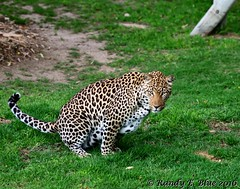 Cango Ranch 080 (REBlue) Tags: southafrica westerncapeprovince kleinkaroo cangowildliferanch oudtshoorn africanleopard