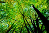 Looking up the trees (Joke Vanbillemont) Tags: green nature naturecolors woods trees leafs