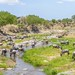 Blue Wildebeest gather for lunch on the Tarangire River