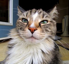 """""""If you don't get that camera out of my face I'm gonna bite your nose RIGHT OFF!!"""" (Lisa Zins) Tags: lisazins jeremiah cat feline mainecoon mainecooncat petsandanimals pets animals catface eyes"""