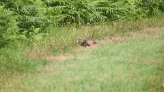 Bunzing (Rob van t Padje) Tags: diereninhetwild flickr internet waarneming zoogdieren helenaveen provincienoordbrabant nederland nld