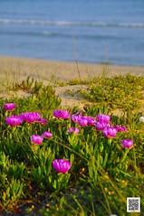 fiori mediterranei (fabrizioaddabbo) Tags: litoranea macchiamediterranea salento mare