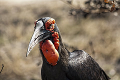 Hornbill Bird Kruger Park Mpumalanga South Africa (M&M_Photography) Tags: hornbill bird ugly animals wildlife kruger krugerpark nationalreserve reserve safari travel mpumalanga southafrica africa picture photo followme
