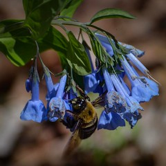 #bluebells #bees to brighten your Monday.  @greatparks Monthly Photo Walk Trout Lily Trail at Withrow Nature Preserve #AndersonTownship #greatparks #springincincy #mygreatparkinpics #withrownaturepreserve @Andersontownship #virginiabluebells Nikon 70-300m