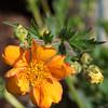 Guem Fireball (adamthomasjones) Tags: flowers macro wales unitedkingdom cardiff 60mm flowershow butepark macrophotography omdem1 mzuiko60mm rhsflowershow2015 guemfireball