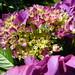Lilac Hydrangea !
