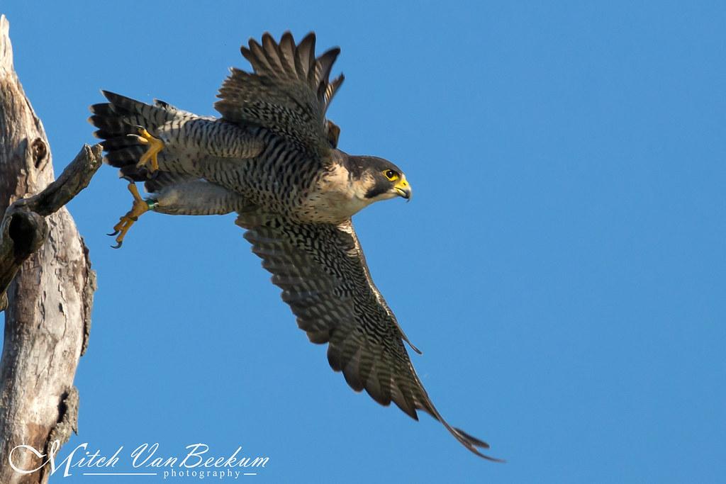 Pounce! (Peregrine Falcon)