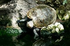 Terripan (StateMaryland) Tags: rock aquarium reptile southcarolina shell charleston turtles aviary saltmarsh terrapin diamondback carapace
