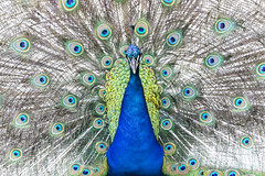 Peacock - Frontal (taylorsloan) Tags: show color male bird beautiful spread back bright vibrant side wide feathers peacock front attraction