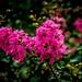 Crepe Myrtle Flowers [Oya ağacı TR]