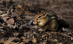 Chipmunk (ashockenberry) Tags: