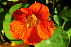 A red garden nasturtium in the autumn sun. (Bienenwabe) Tags: autumn sun flower macro tropaeolum nasturtium autumnsun flowermacro kapuzinerkresse tropaeolaceae tropaeolummajus gardennasturtium