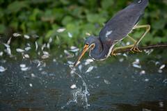 The Chosen (gseloff) Tags: bird texas feeding wildlife pasadena mythology quetzalcoatl tricoloredheron sacrificialoffering baitfish menhaden kayakphotography gseloff horsepenbayou
