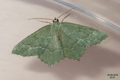 Common emerald (FG)